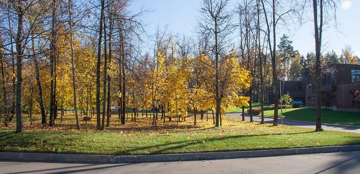 Клены перед административным центром поселка Резиденция Рублево